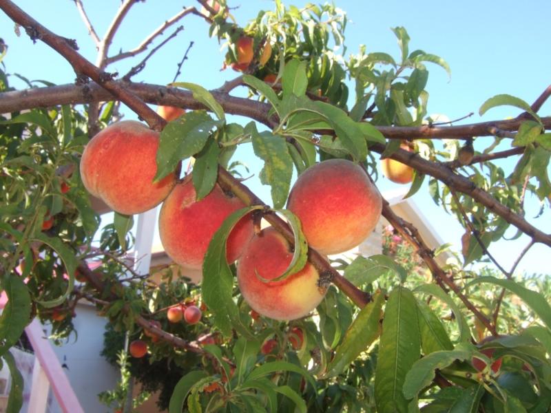 Wie man einen pfirsichbaum vor frost sch tzen kann - Pfirsichbaum im garten ...