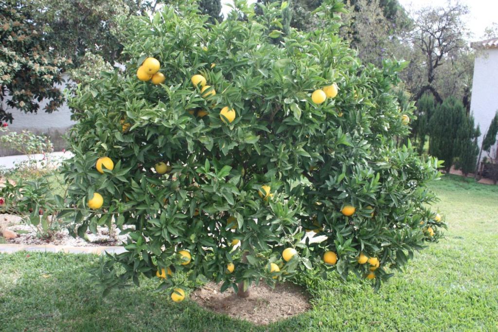mein orangenbaum viele fr he orangen und alle schon weg. Black Bedroom Furniture Sets. Home Design Ideas
