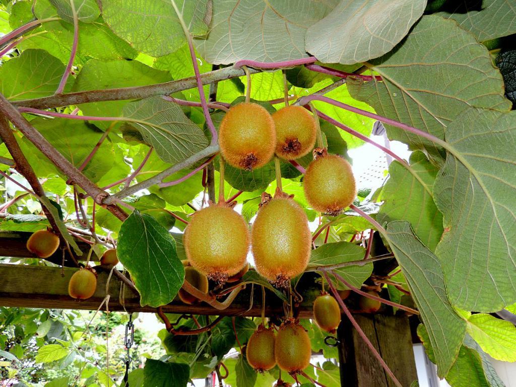 kiwi pflanzen und pflege der kiwibaum im eigenen garten. Black Bedroom Furniture Sets. Home Design Ideas