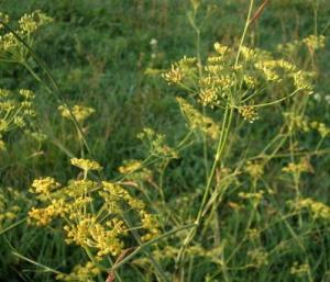 Fenchel: Richtig Pflanzen, Pflegen, Schneiden Und Ernten Fenchel Pflanzen Tipps Pflege Gemuse
